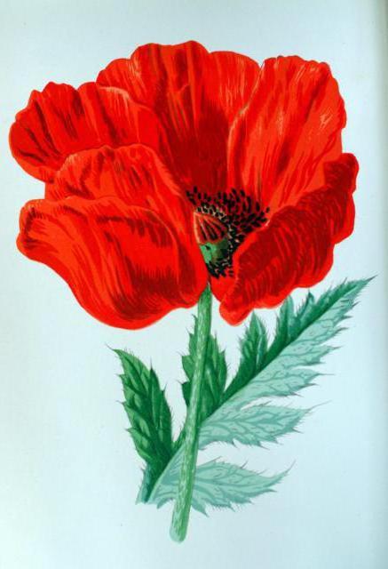 Красный мак, цветы