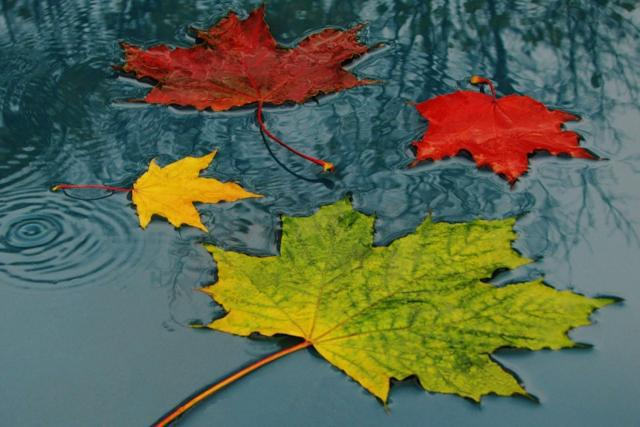 Листья клена под дождем,