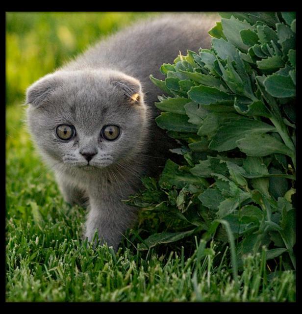 Вислоухий котёнок, оригинал