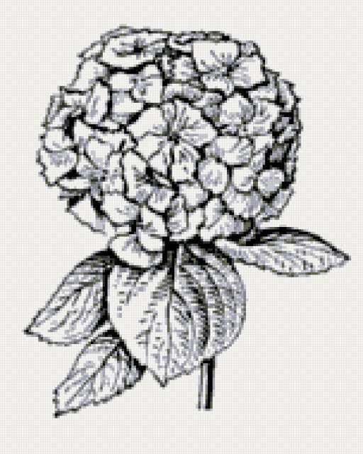 Гортензия, цветы, графика
