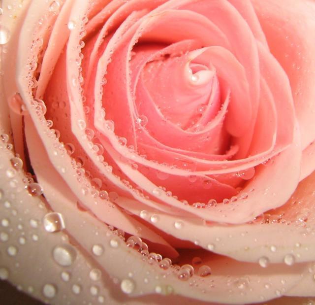 Роза в росе, розы, цветы