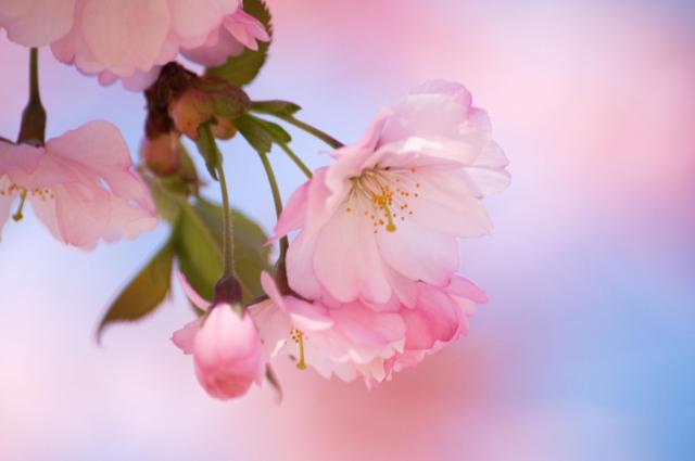 Яблоневый цвет, сакура, цветы