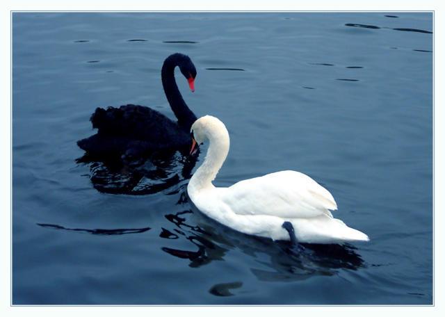 Лебеди-черный и белый,