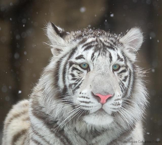 Белый тигр 3, оригинал
