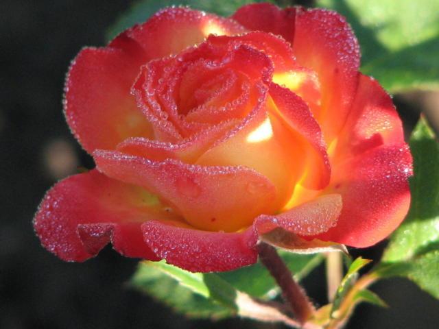 Королева цветов, оригинал