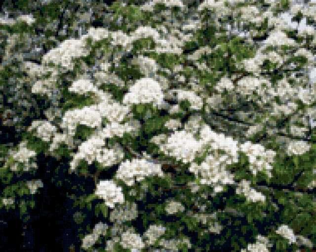 Груша цветет, предпросмотр