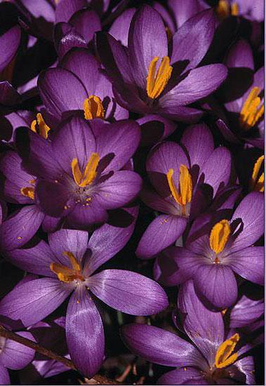 Фиолетовые подснежники