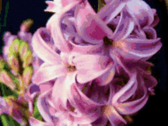 Фиолетовый гиацинт