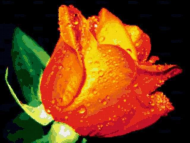 Роза в росе, роза, цветок,