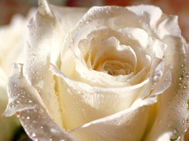 роза, роса, вышивка, схема