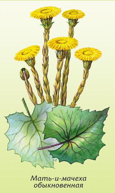 Лекарствен.травы МАТЬ-И-МАЧЕХА