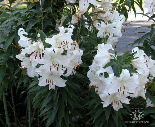 """""""Белые лилии"""", цветы, лилии"""