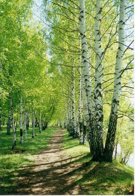 Русский лес, березы, тропинка,