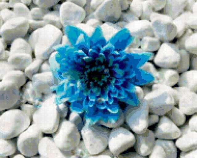 Голубая хризантема на камушках