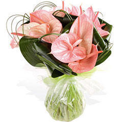 Rose Anthurium, �����, ����