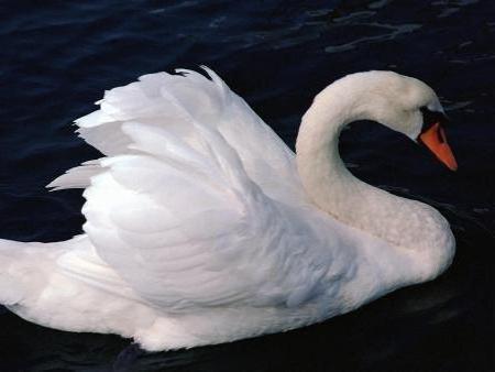 Белый лебедь, оригинал