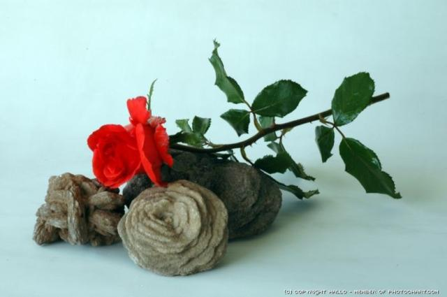 Desert Roses and a Rose, цветы