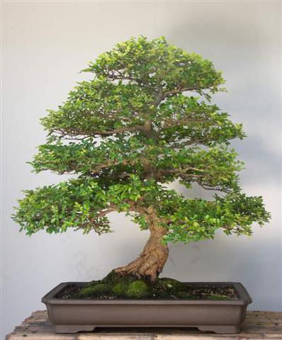 Bonsai Tree, природа
