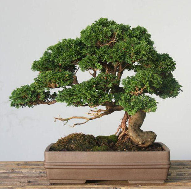 Bonsai Tree, �������