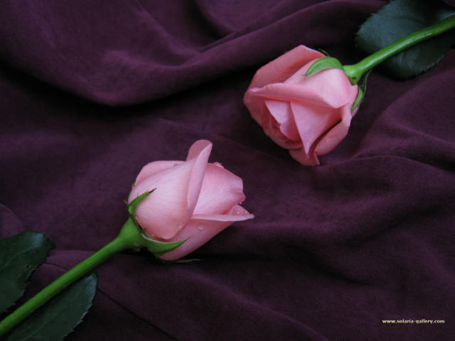 Two Purple Roses, ����, �����