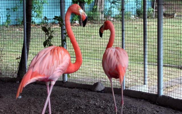 Trapped Flamingos, птици, природа