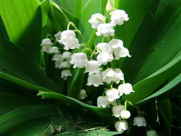 Lily of the Valley, цветы, природа