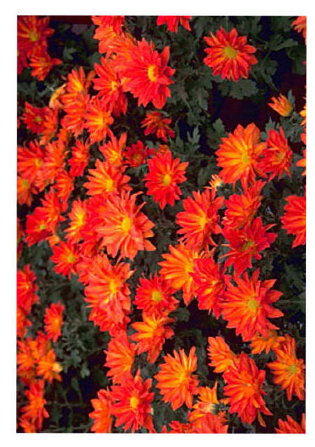 Red Daisies, цветы