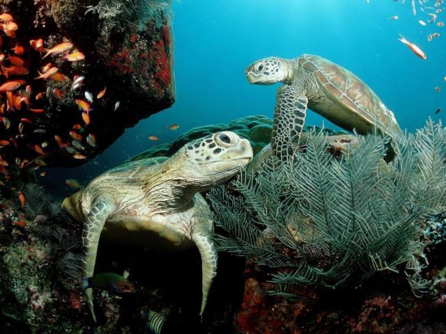 Морские черепахи, черепахи