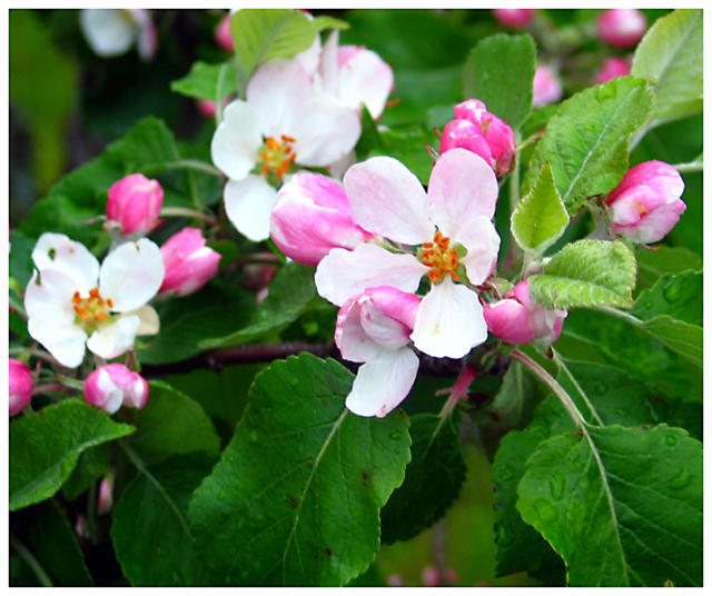 Apple Blossom, цветы