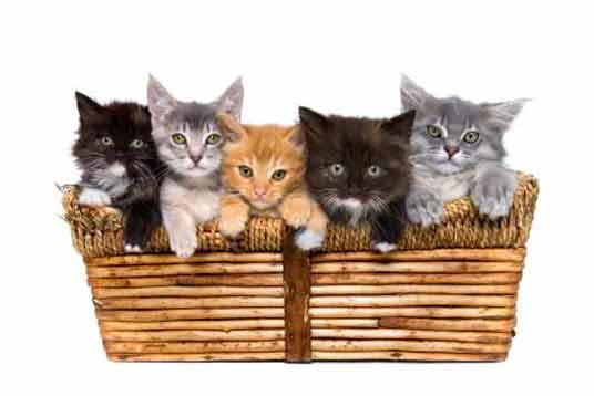 Kittens in Basket, животны
