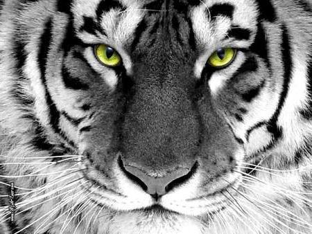 Tiger with Green Eyes, животны