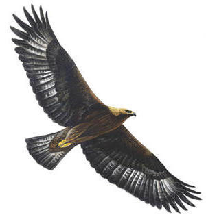 Golden Eagle, птици