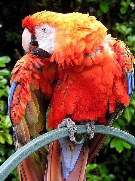 Попугай ара, оригинал