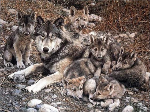Семейство волков 1, оригинал