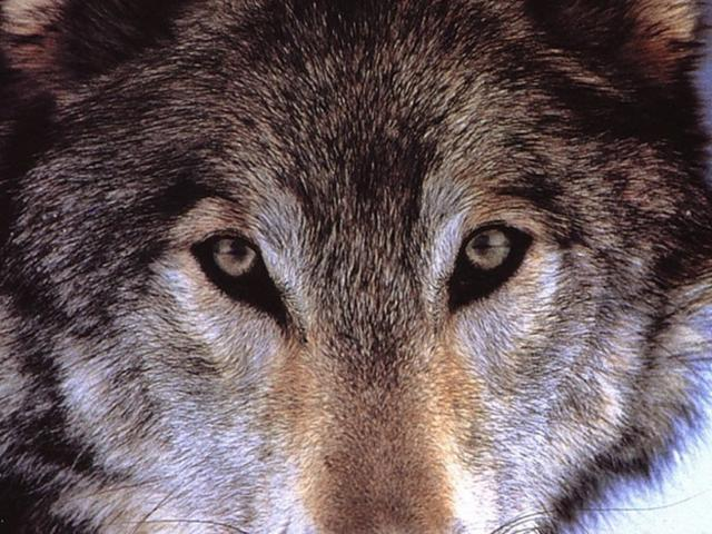 Взгляд волка, животные, глаза,