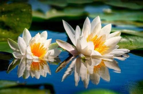 Водяная лилия, цветы, лилия,