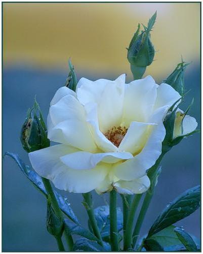 Роза на восходе, природа,