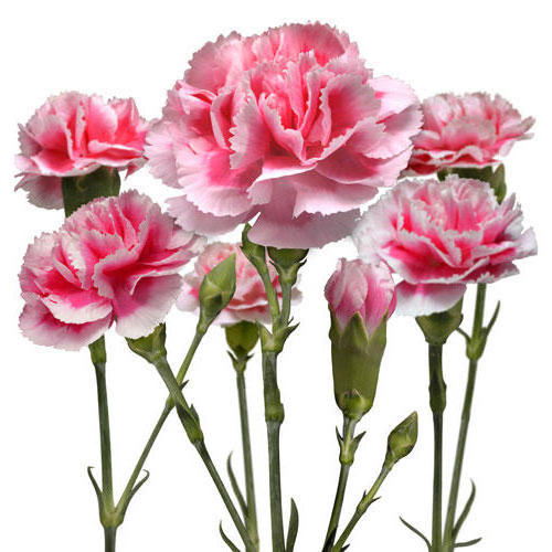 Carnations-������� � �������, �������, �������