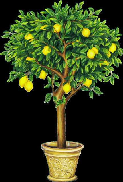 Лимонное дерево, лимонное