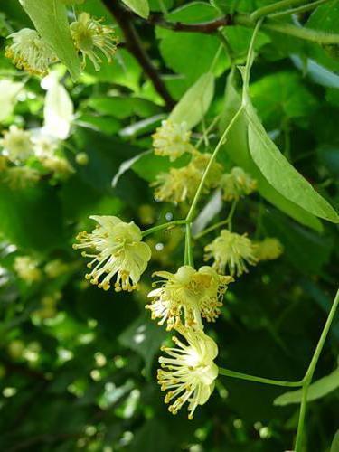 Цветки липы, деревья