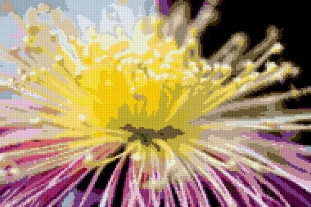 Астра, цветок, астра