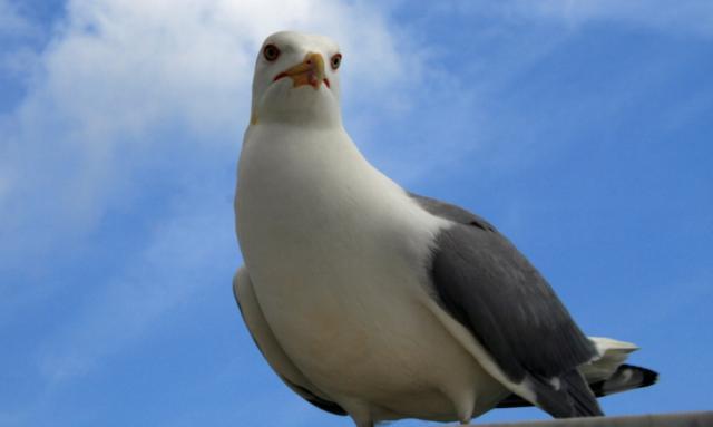 Чайка, природа, птицы, чайка,