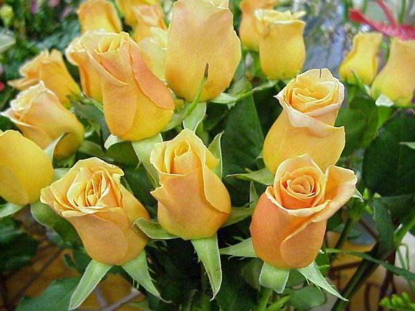 Желтые розы, цветы, букет роз