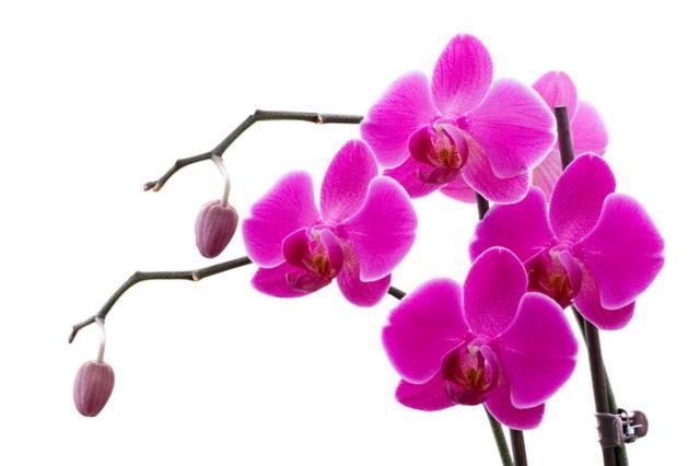 Розовая орхидея, оригинал