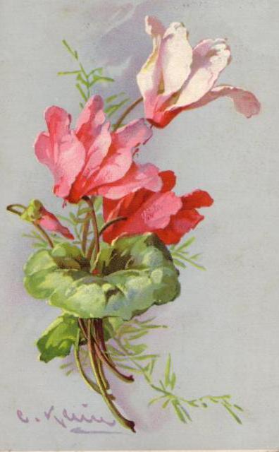Цикламен, цикламен, цветы