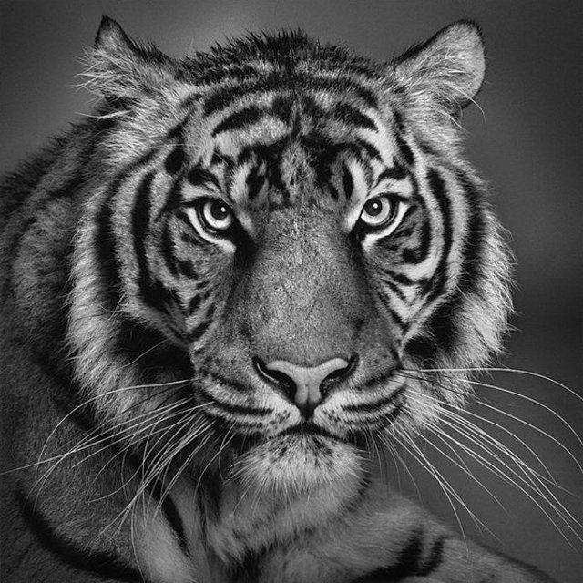 Тигр, черно-белое, животные,