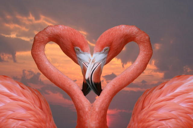 Любовь фламинго, оригинал