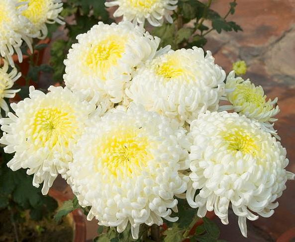 Chrysantemum, цветы