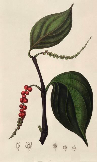 Гербарий-черный перец