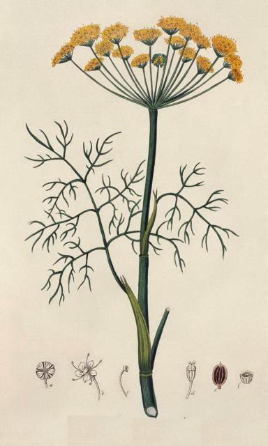 Гербарий-укроп, растения